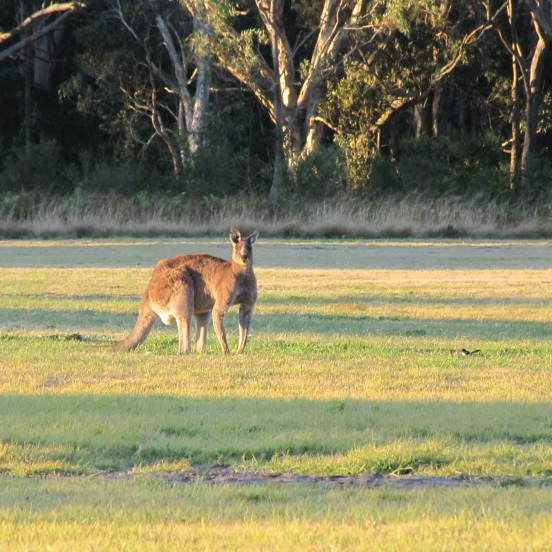 Kangaroo central coast